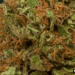 white_widow_CBCB_smallphoto