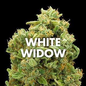White Widow Marijuana Strain